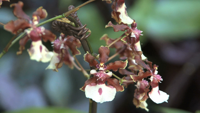 Oncidium Alliance Rust and White Orchid