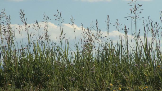 Colorado Grass with Sky Backdrop