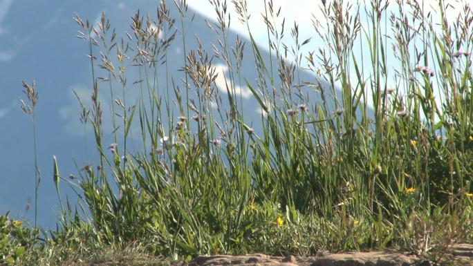 Colorado Grass with Mountain Backdrop 2