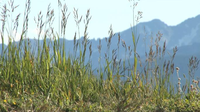 Colorado Grass with Mountain Backdrop 4