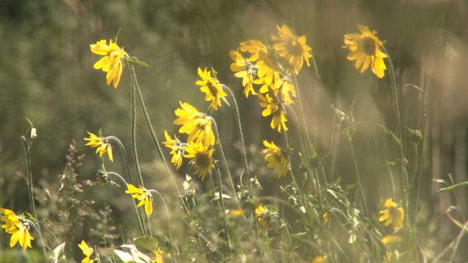 Yellow  Flowers on Colorado Mountain