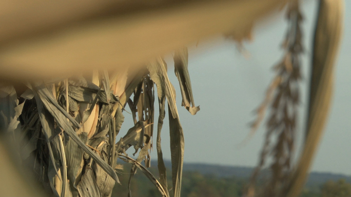 Corn Stalk Focus Shift