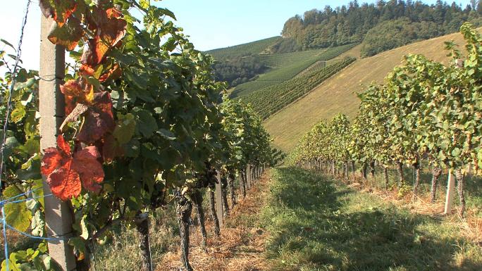 Vineyard Rows 2