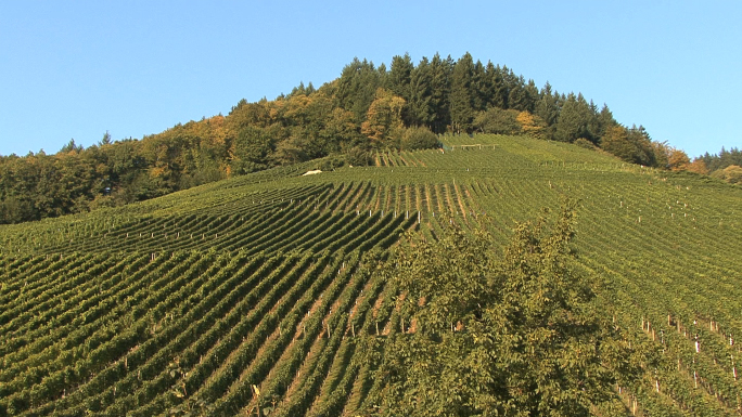 Vineyards at Staufen