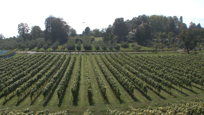 Hagnau Vineyard 2