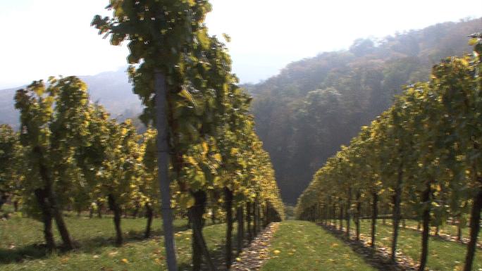 Panning View of Vineyard