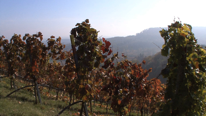 Red Leaves in Vineyard