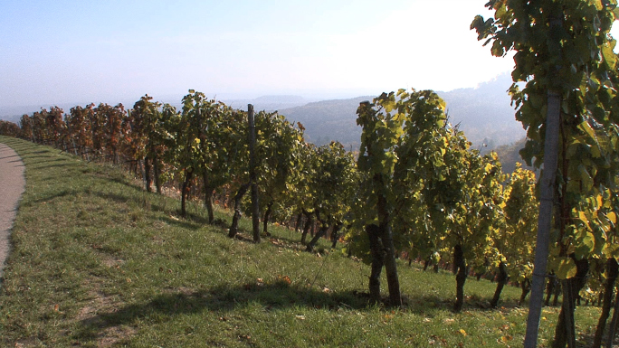 View of Vineyard from Hill