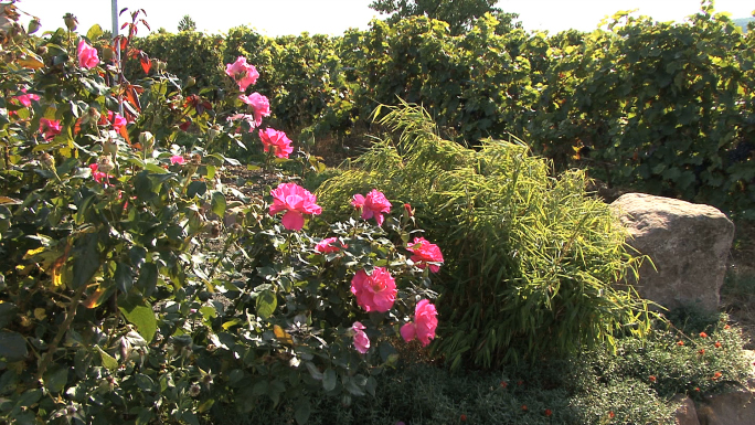 Pfalz Winery Roses and Vines