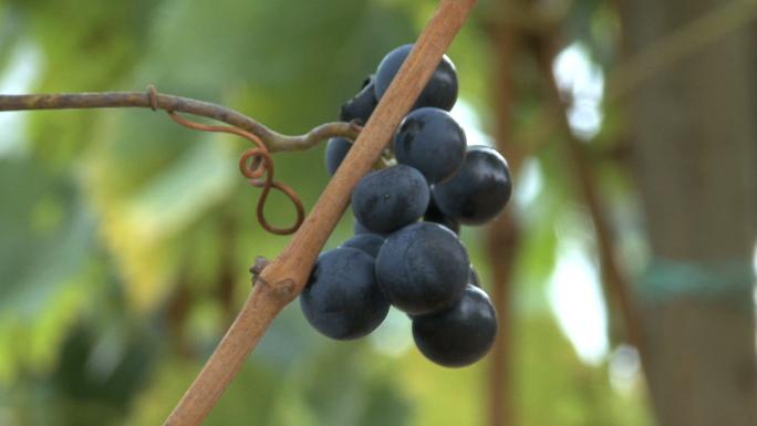 Germany Rhine Traditional Grapes 3