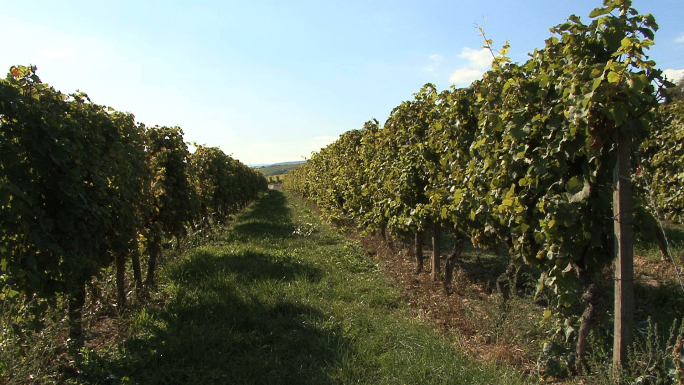 Germany Rhine Vineyard Zoom