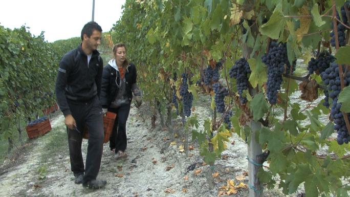 Barolo Picking Grapes 6