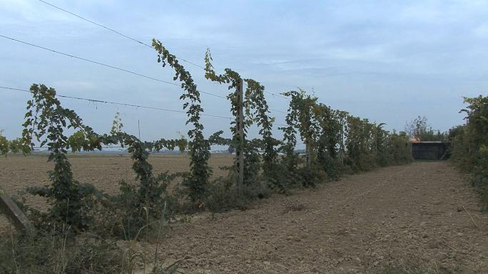 Italy Po Delta Grape Vines Trained High