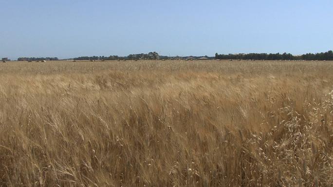 Italy Pulia Wheat