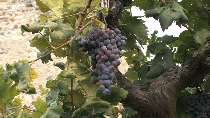 Italy Veneto Grapes 1