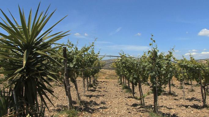 Sicily Winery Vineyard 44