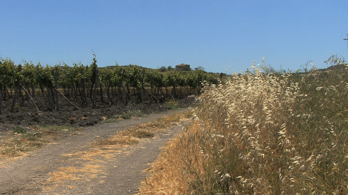Sicily Vineyard 31