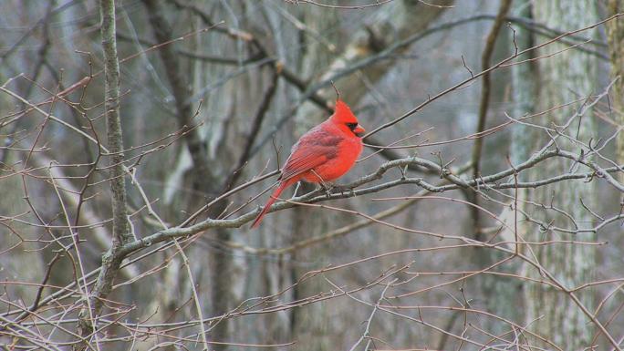 Cardinal Early Spring