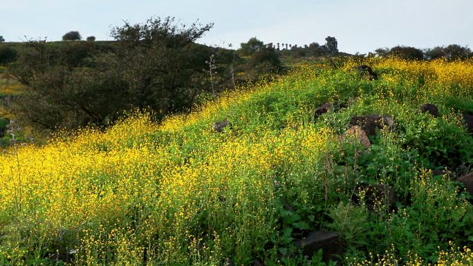 Field of Yellow Flowers 3