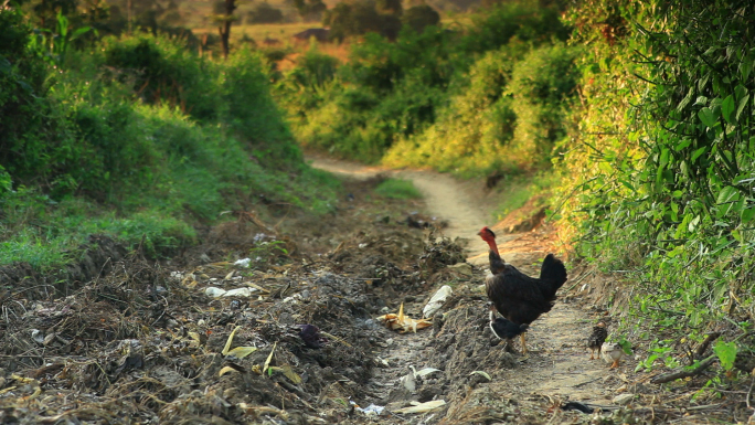 Chicken in African Road