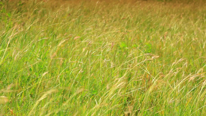 Tall Grass Blows in the Wind on African Savannah