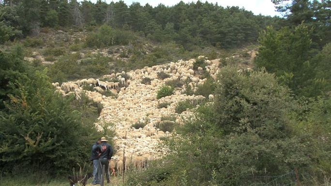 Sheep Climbing Hill