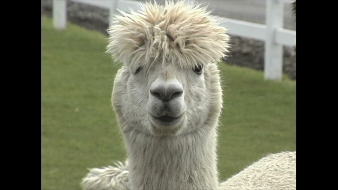 View of Alpacs front of face
