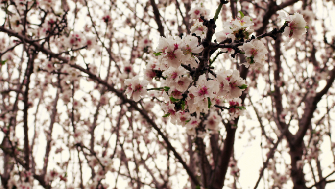 Close Up Of Pink Blossoms On Tree Branch