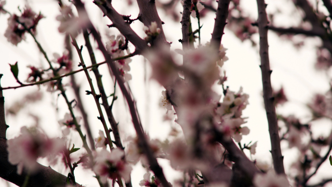 Rack Focus Of Pink Blossom On Tree Branch