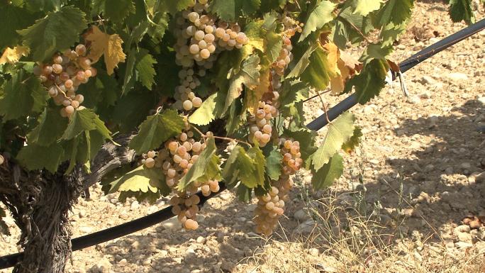 vineyard irrigation 1